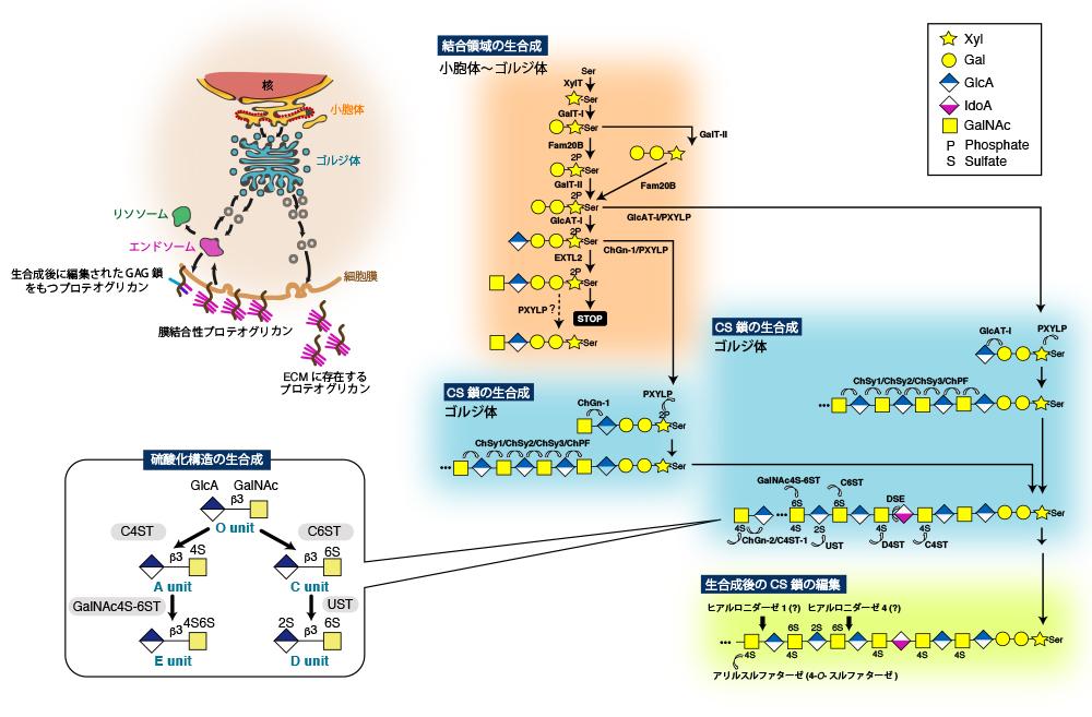 がん生物学から見たコンドロイチン硫酸プロテオグリカンの機能コンドロイチン硫酸の糖鎖構造依存的な細胞内シグナルの制御とがん化(2019 Vol.22 (3), A8) DOI:10.32285/glycoforum.22A8J